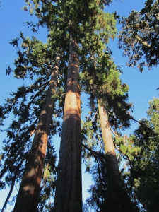 three sequoias in Parc Bertrand in Champel, two of which had been hit by lightning but were nursed back to health by the city's gardeners