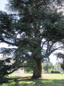 the 213-year old Lebanon cedar in Parc de la Grange