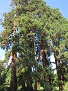 a grouping of sequoias below the Restaurant des Eaux-Vives