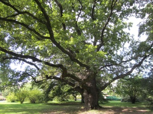 an old oak tree in the Botanical Gardens