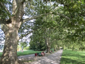 the five 300-year old plane trees in the Botanical Gardens