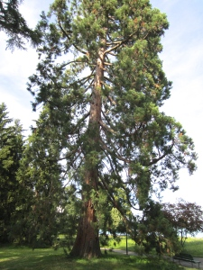 a huge sequoia in Parc Barton