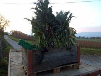 Cardon harvest in Geneva